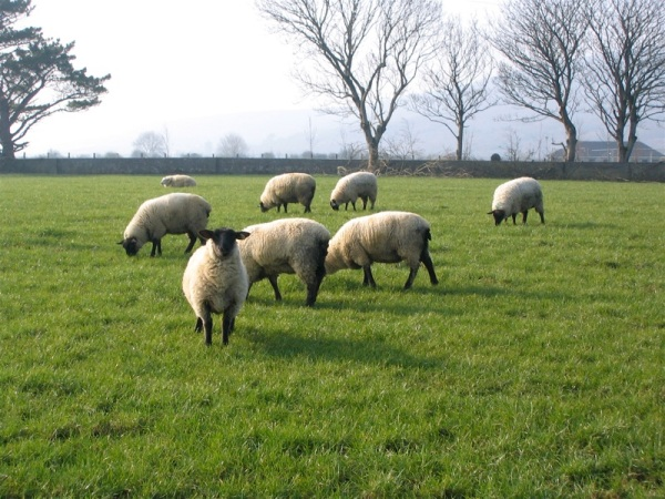 Flock_of_sheep_in_Ireland